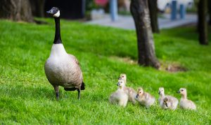 Mama duck with her ducklings in the grass | Get Your Husband to Step up in Parenting and Housework | muchnessmama.com